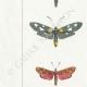 DETALLES 02 | Mariposas Europeas - Zygène Peucedani