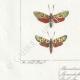 DETALLES 03 | Mariposas Europeas - Zygène Peucedani