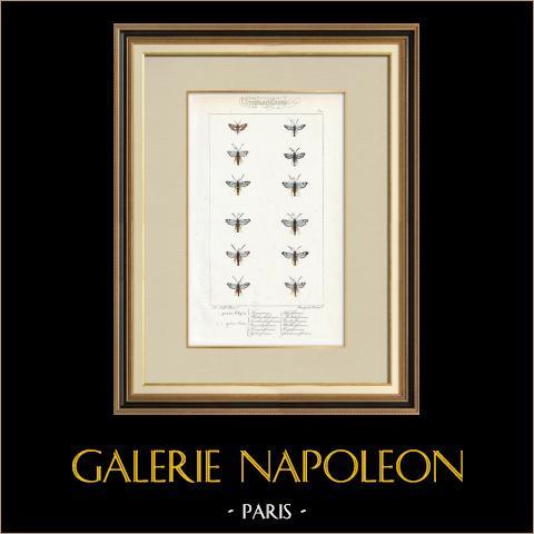 Papillons d'Europe - Thyris - Sesie | Gravure originale en taille-douce sur acier d'après A. Noël. Pauquet direxit. Aquarellée à la main. 1834