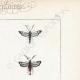 DETTAGLI 04 | Farfalle dall'Europa - Thyris - Sesie