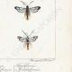 DETTAGLI 06 | Farfalle dall'Europa - Thyris - Sesie