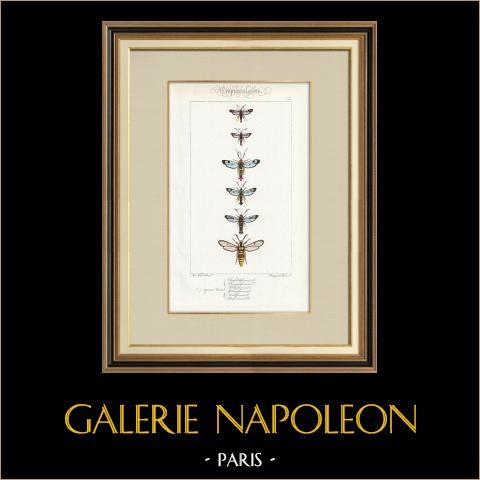 Papillons d'Europe - Sesie | Gravure originale en taille-douce sur acier d'après A. Noël. Pauquet direxit. Aquarellée à la main. 1834