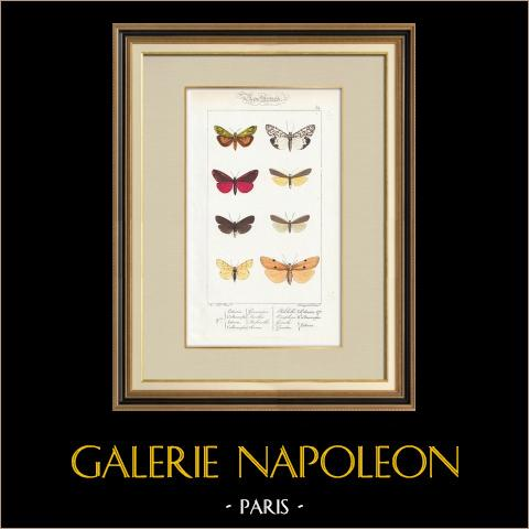 Butterflies of Europe - Lithosie - Callimorphe | Original steel engraving after A. Noël. Pauquet direxit. Hand watercolored. 1834