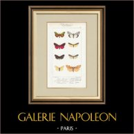 Papillons d'Europe - Lithosie - Callimorphe