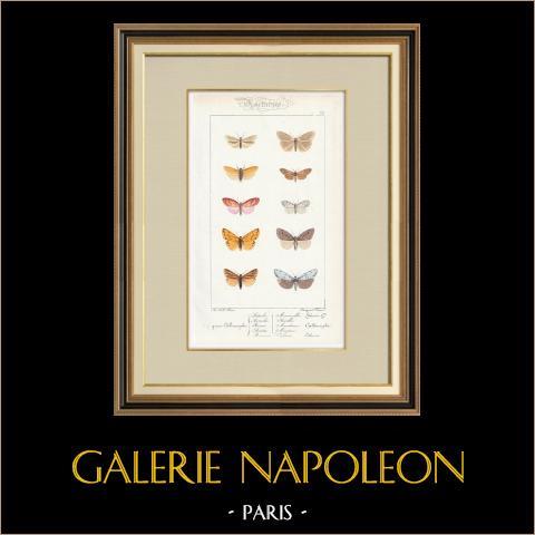 Papillons d'Europe - Callimorphe | Gravure originale en taille-douce sur acier d'après A. Noël. Pauquet direxit. Aquarellée à la main. 1834