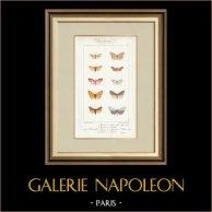 Mariposas Europeas - Callimorphe