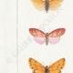 DETALLES 02 | Mariposas Europeas - Callimorphe