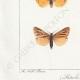 DETALLES 03 | Mariposas Europeas - Callimorphe