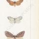 DETALLES 05 | Mariposas Europeas - Callimorphe