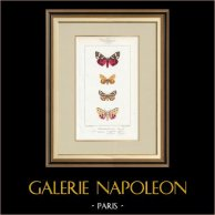 Papillons d'Europe - Callimorphe - Chelonia