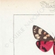 DETTAGLI 01 | Farfalle dall'Europa - Callimorphe - Chelonia