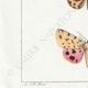 DETTAGLI 03 | Farfalle dall'Europa - Callimorphe - Chelonia