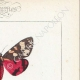 DETTAGLI 04 | Farfalle dall'Europa - Callimorphe - Chelonia