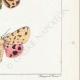 DETTAGLI 06 | Farfalle dall'Europa - Callimorphe - Chelonia