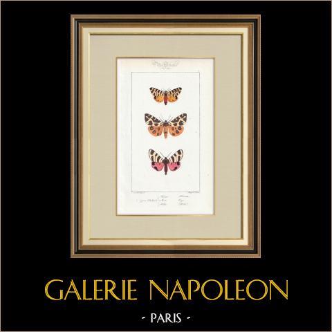 Papillons d'Europe - Chelonia | Gravure originale en taille-douce sur acier d'après A. Noël. Pauquet direxit. Aquarellée à la main. 1834