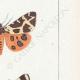 DETTAGLI 05 | Farfalle dall'Europa - Chelonia