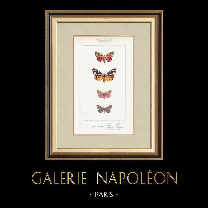 Gravures Anciennes & Dessins | Papillons d'Europe - Chelonia Civique | Taille-douce | 1834