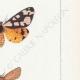 DÉTAILS 05 | Papillons d'Europe - Chelonia Civique