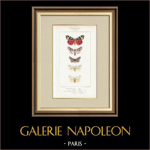Butterflies of Europe - Callimorphe - Chelonia | Original steel engraving after A. Noël. Pauquet direxit. Hand watercolored. 1834