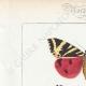 DETTAGLI 01   Farfalle dall'Europa - Callimorphe - Chelonia
