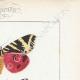 DETTAGLI 04   Farfalle dall'Europa - Callimorphe - Chelonia
