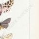 DETTAGLI 05   Farfalle dall'Europa - Callimorphe - Chelonia