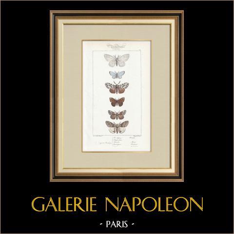 Papillons d'Europe - Bombyx | Gravure originale en taille-douce sur acier d'après A. Noël. Pauquet direxit. Aquarellée à la main. 1834