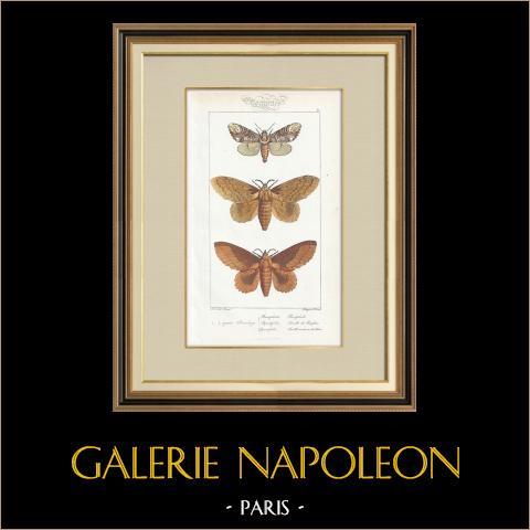 Papillons d'Europe - Bombyx Bucephala | Gravure originale en taille-douce sur acier d'après A. Noël. Pauquet direxit. Aquarellée à la main. 1834