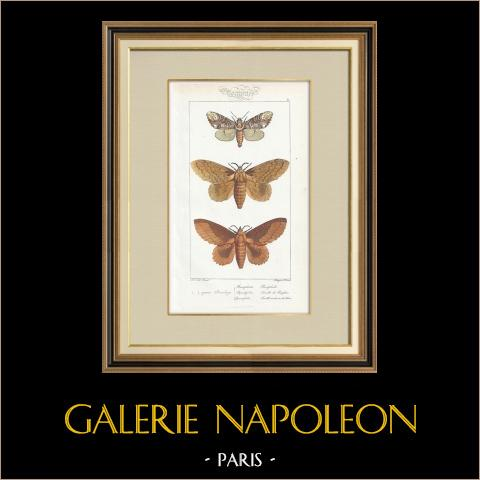 Butterflies of Europe - Bombyx Bucephala | Original steel engraving after A. Noël. Pauquet direxit. Hand watercolored. 1834
