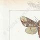 DETTAGLI 01 | Farfalle dall'Europa - Bombyx Bucephala