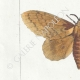 DETTAGLI 02 | Farfalle dall'Europa - Bombyx Bucephala