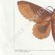 DETTAGLI 03 | Farfalle dall'Europa - Bombyx Bucephala