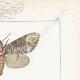 DETTAGLI 04 | Farfalle dall'Europa - Bombyx Bucephala