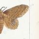DETTAGLI 05 | Farfalle dall'Europa - Bombyx Bucephala