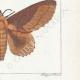 DETTAGLI 06 | Farfalle dall'Europa - Bombyx Bucephala