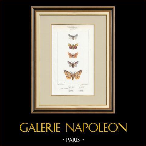 Papillons d'Europe - Bombyx Procèssionnaire | Gravure originale en taille-douce sur acier d'après A. Noël. Pauquet direxit. Aquarellée à la main. 1834