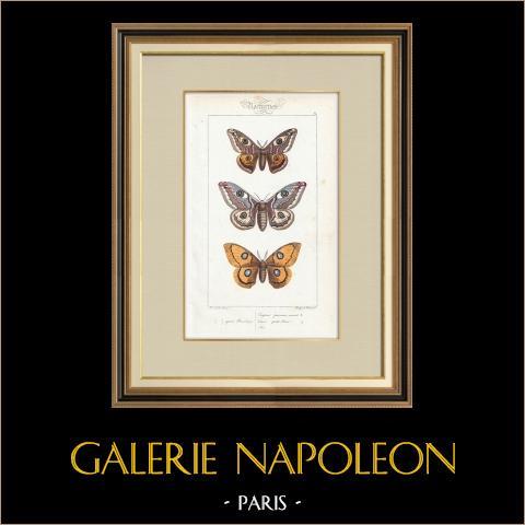 Papillons d'Europe - Bombyx Carpini | Gravure originale en taille-douce sur acier d'après A. Noël. Pauquet direxit. Aquarellée à la main. 1834