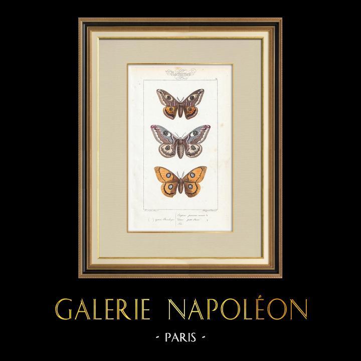 Stampe Antiche & Disegni | Farfalle dall'Europa - Bombyx Carpini | Stampa calcografica | 1834
