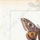 DETTAGLI 01 | Farfalle dall'Europa - Bombyx Carpini