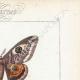 DETTAGLI 04 | Farfalle dall'Europa - Bombyx Carpini