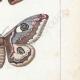 DETTAGLI 05 | Farfalle dall'Europa - Bombyx Carpini