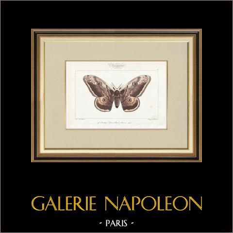 Butterflies of Europe - Bombyx Grand Paon | Original steel engraving after A. Noël. Pauquet direxit. Hand watercolored. 1834