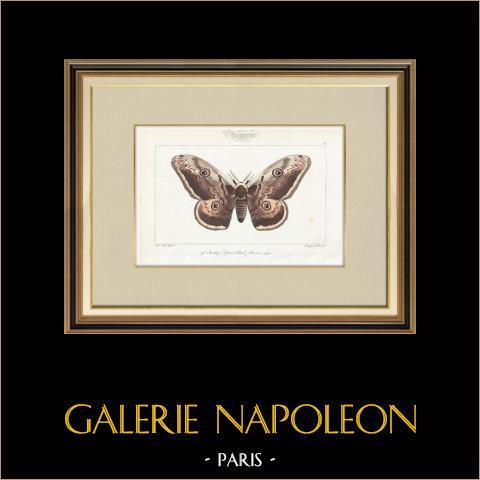 Papillons d'Europe - Bombyx Grand Paon | Gravure originale en taille-douce sur acier d'après A. Noël. Pauquet direxit. Aquarellée à la main. 1834