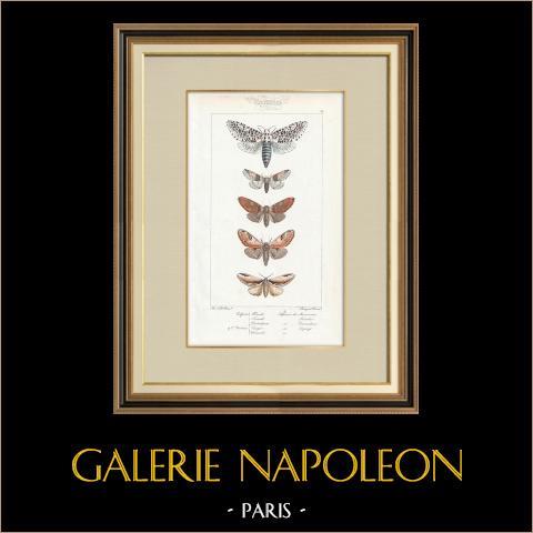 Papillons d'Europe - Cossua - Noctua | Gravure originale en taille-douce sur acier d'après A. Noël. Pauquet direxit. Aquarellée à la main. 1834