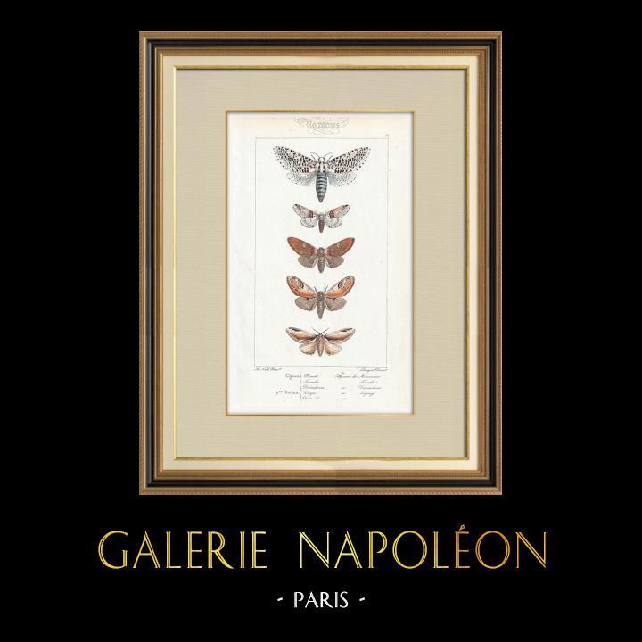 Stampe Antiche & Disegni | Farfalle dall'Europa - Cossua - Noctua | Stampa calcografica | 1834