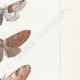 DÉTAILS 05 | Papillons d'Europe - Cossua - Noctua