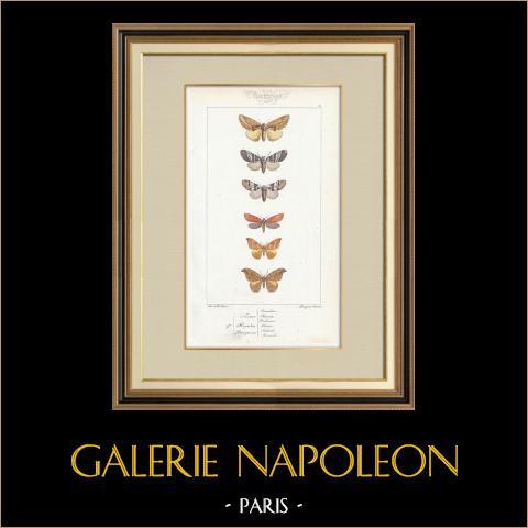 Papillons d'Europe - Noctua - Hepialus - Platypterix | Gravure originale en taille-douce sur acier d'après A. Noël. Pauquet direxit. Aquarellée à la main. 1834