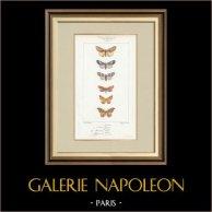 Mariposas Europeas - Noctua - Hepialus - Platypterix