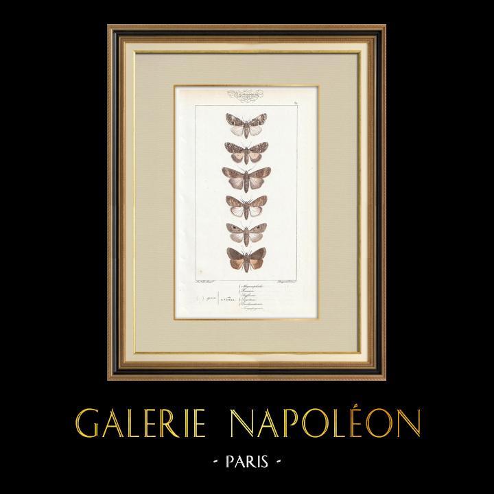 Grabados & Dibujos Antiguos | Mariposas Europeas - Noctua | Grabado en talla dulce | 1834