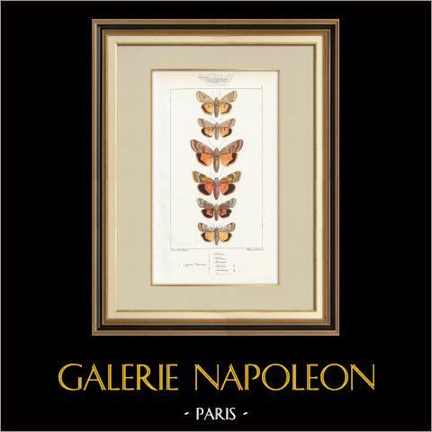 Papillons d'Europe - Noctua Orbona | Gravure originale en taille-douce sur acier d'après A. Noël. Pauquet direxit. Aquarellée à la main. 1834